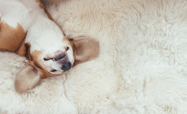 Dog rolling on blanket